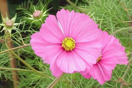 cosmos flower in bloom pinkish petals