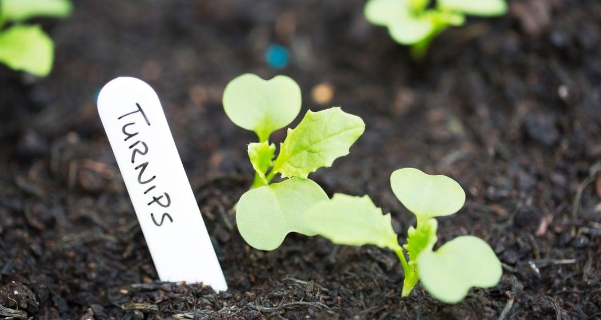 Turnip - Vegetable