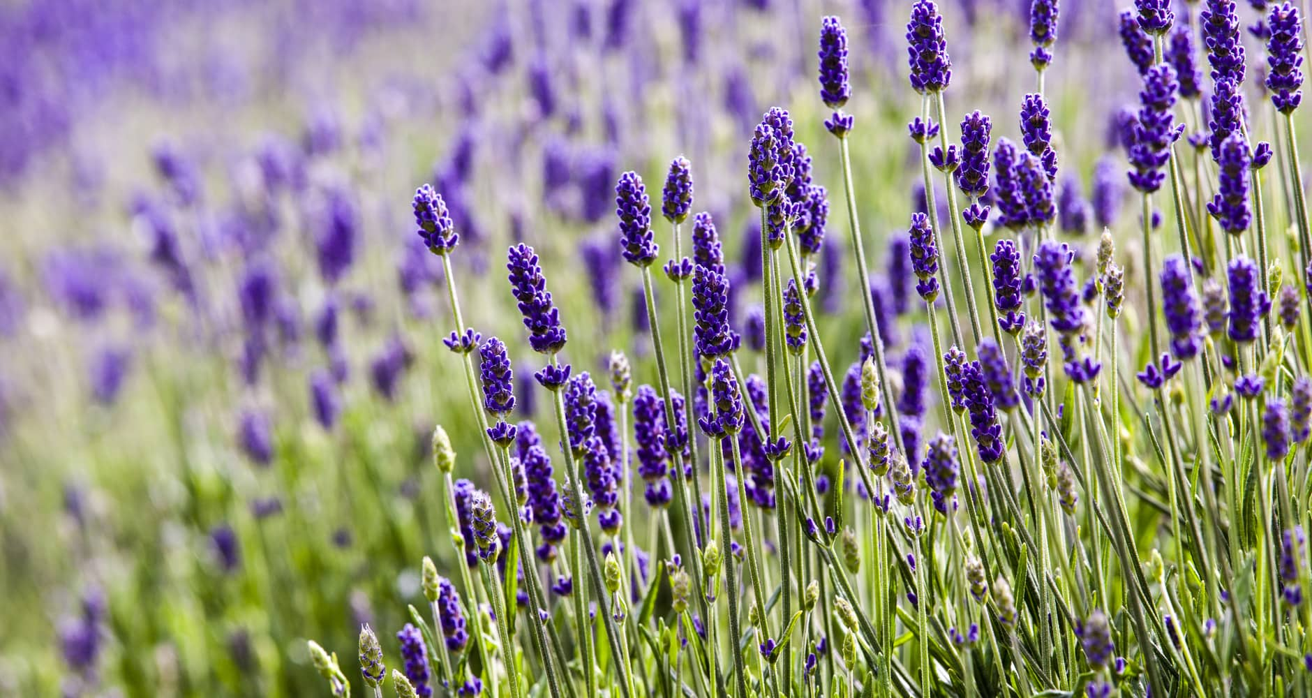 deer resistant plants - lavendar