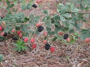 Dewberries Image courtesy of Pollinator, Wikimedia Commons