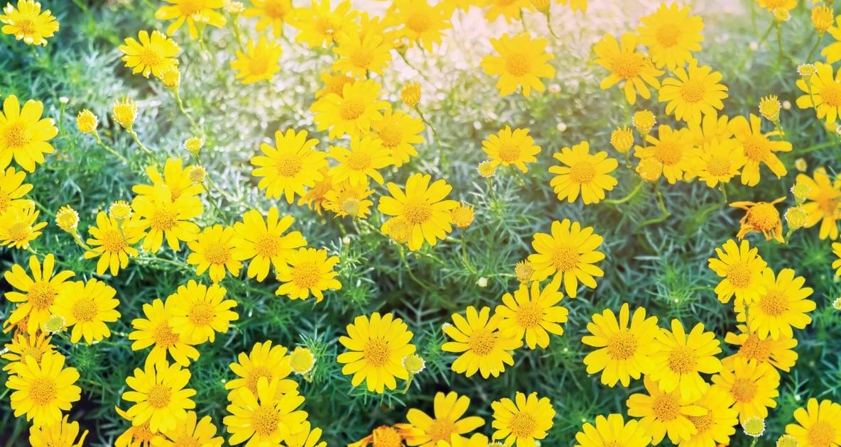 Thymophylla tenuiloba - Flowering plant