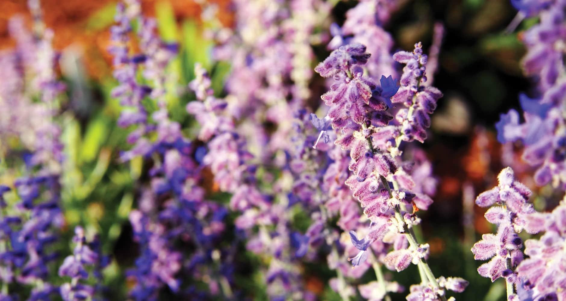 Russian sage purple flower