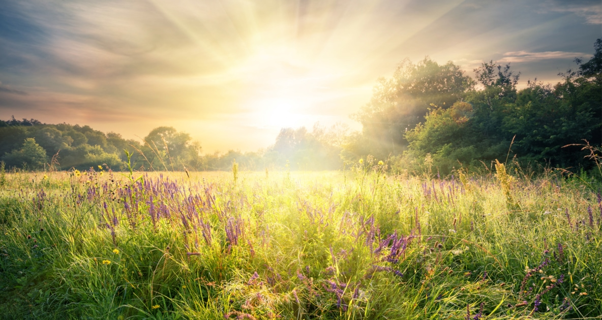 Sun rising over a field of purple flowers.