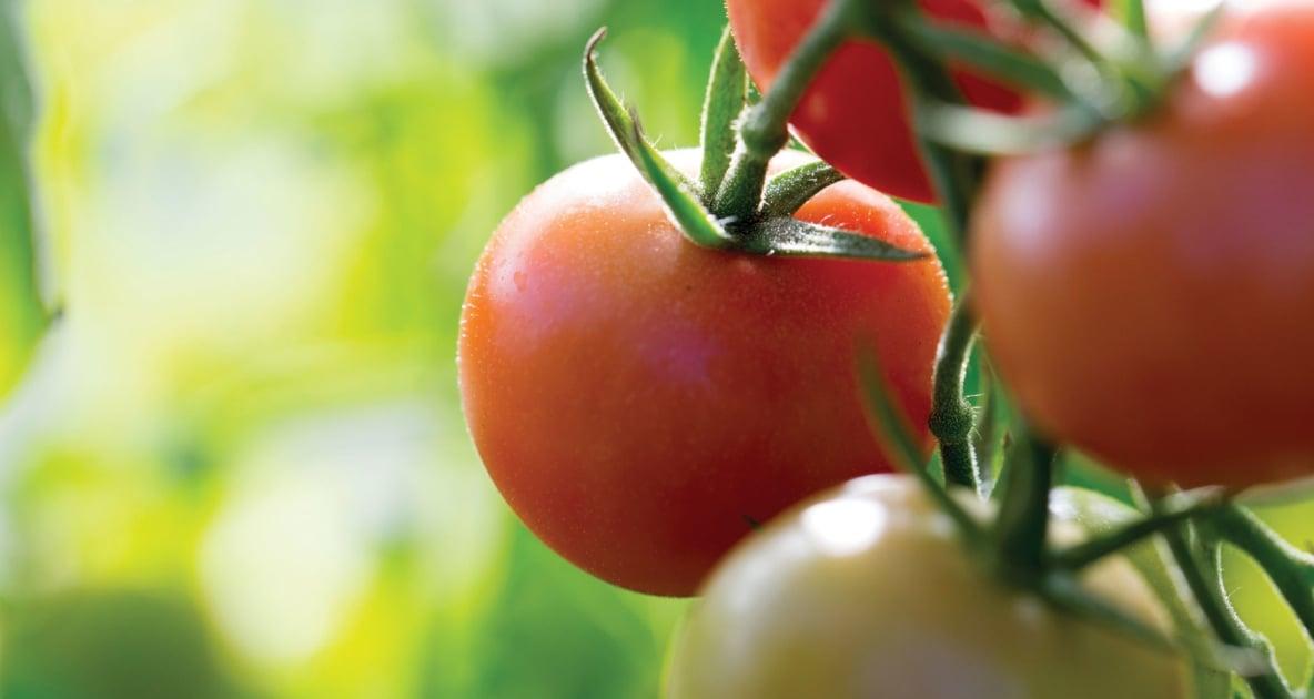 Cherry Tomatoes - Plants