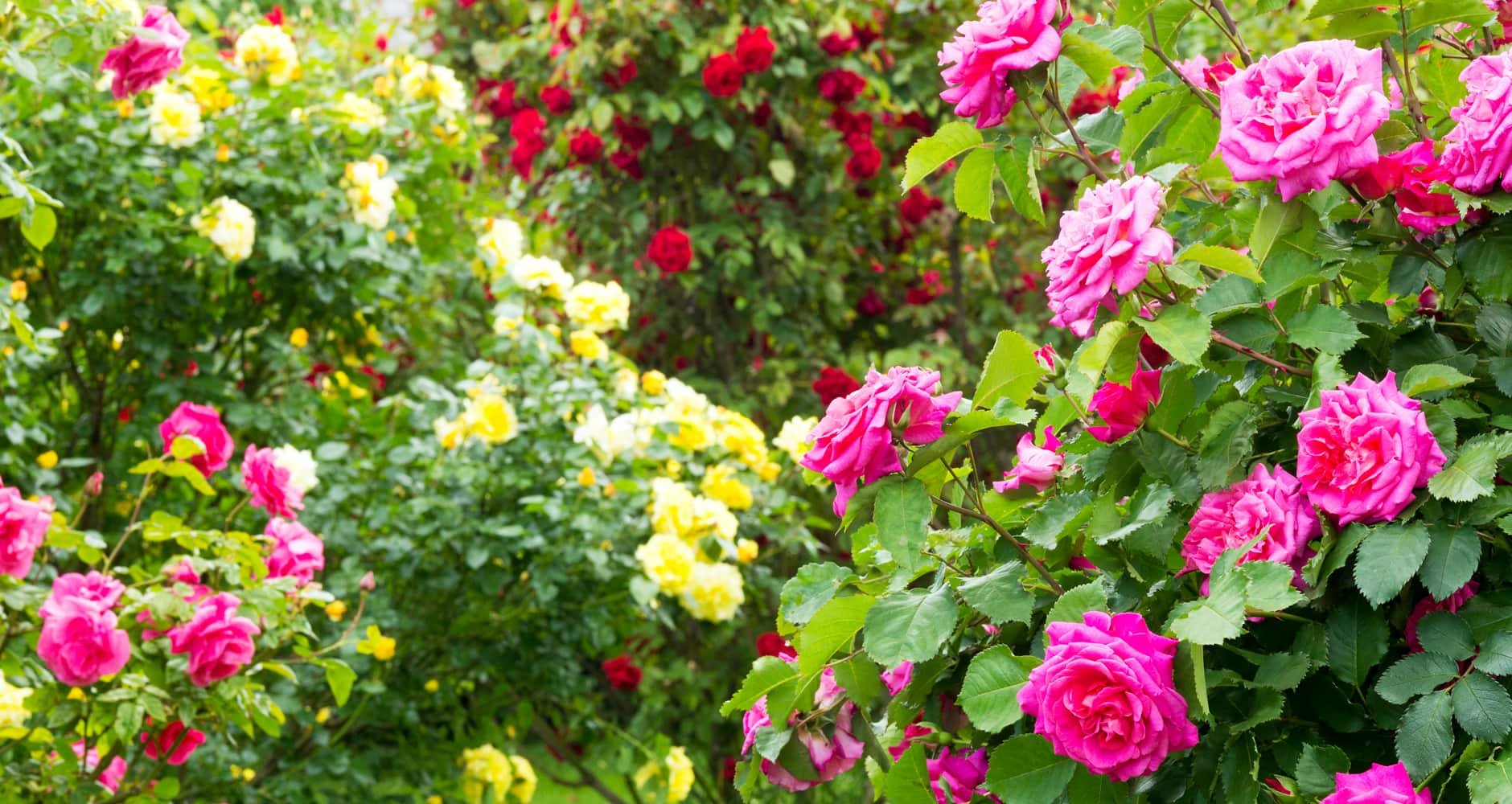 Edible flowers - roses