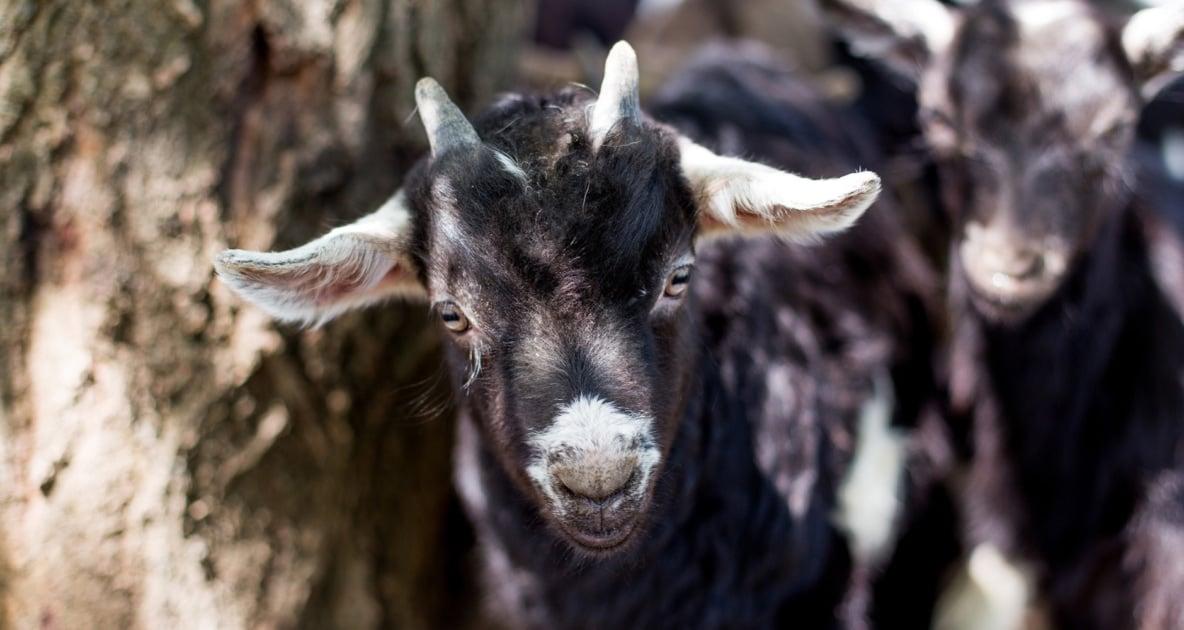Fainting goat - Livestock