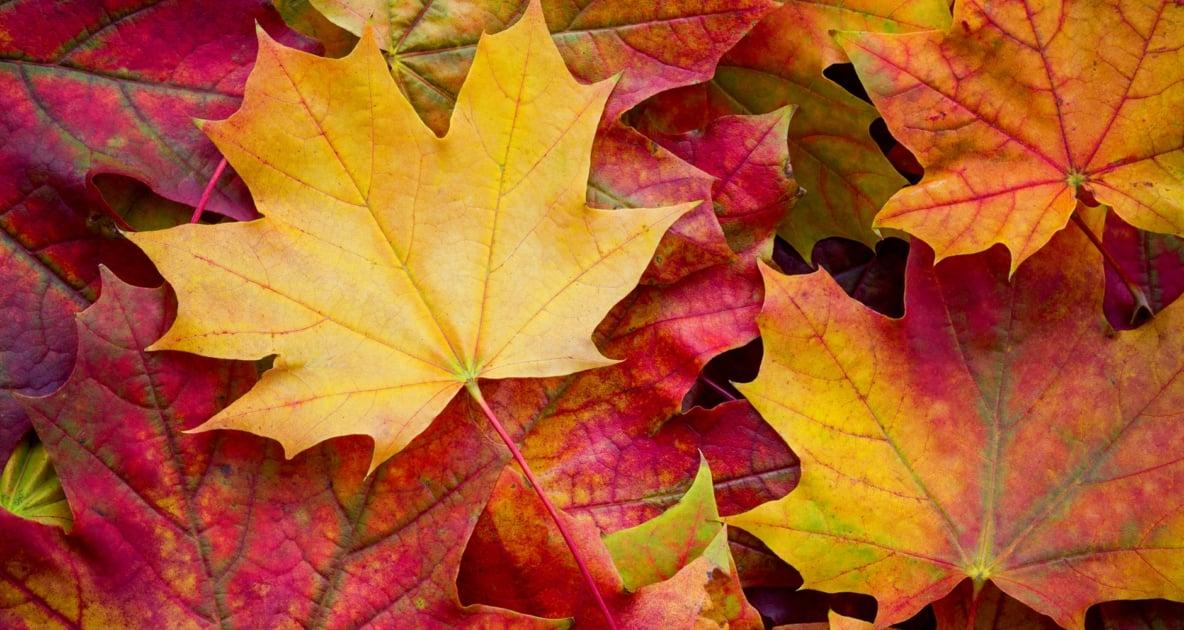 Leaf - Autumn leaf color