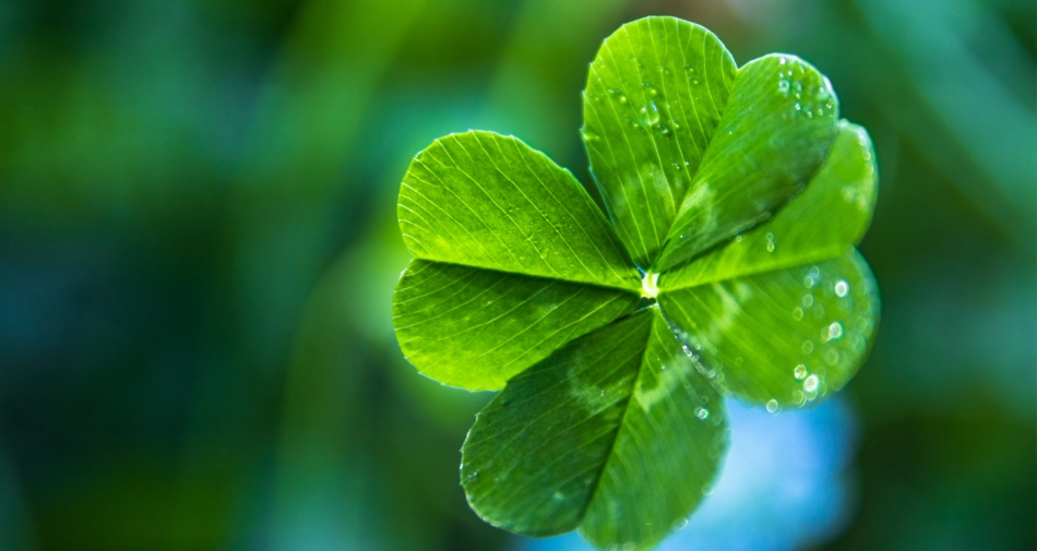 Four-leaf clover with water droplets