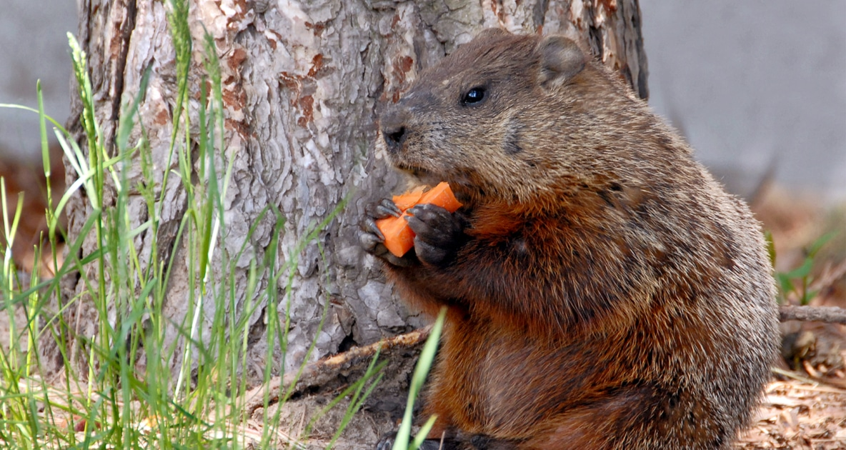 Groundhog - Burrow
