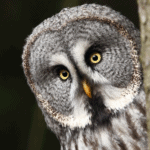 Close up of a gray owl peeking from behind a tree