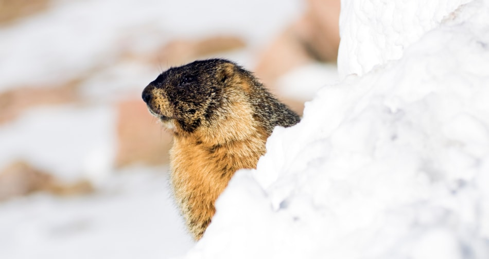 Groundhog peeking out over a mound of snow.