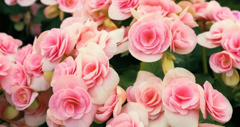 Group of pink rose begonia flowers.