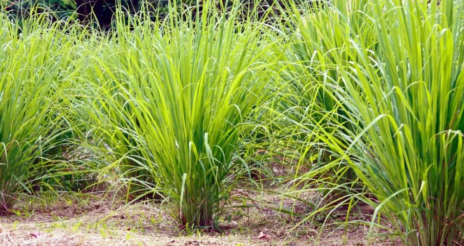 Cymbopogon flexuosus - Perennial plant