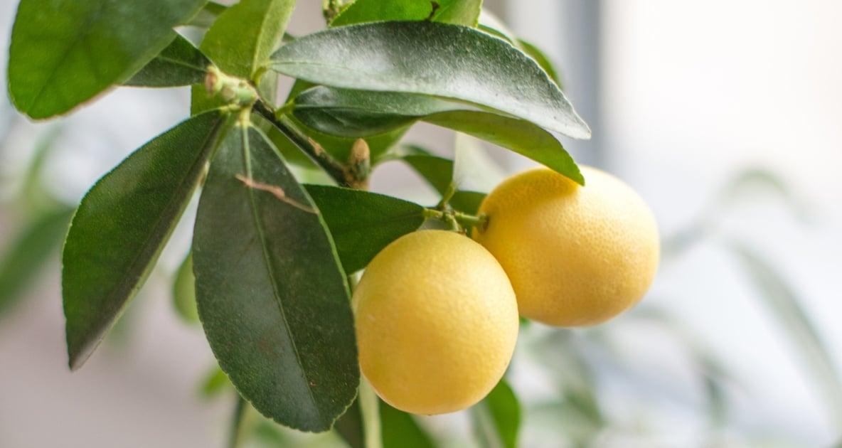Lemon - Seed
