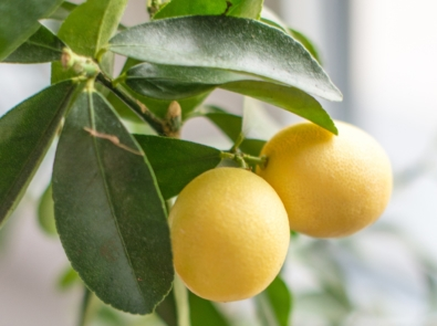 Grow Your Own Lemon Tree From Lemon Seeds featured image