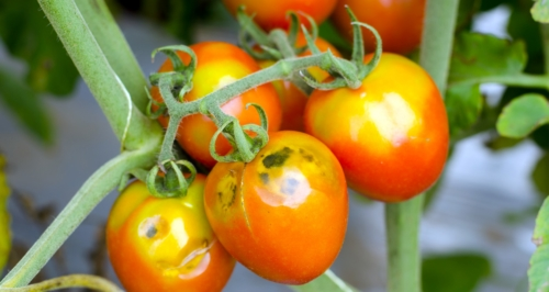 10 Common Tomato Plant Problems and How To Fix Them