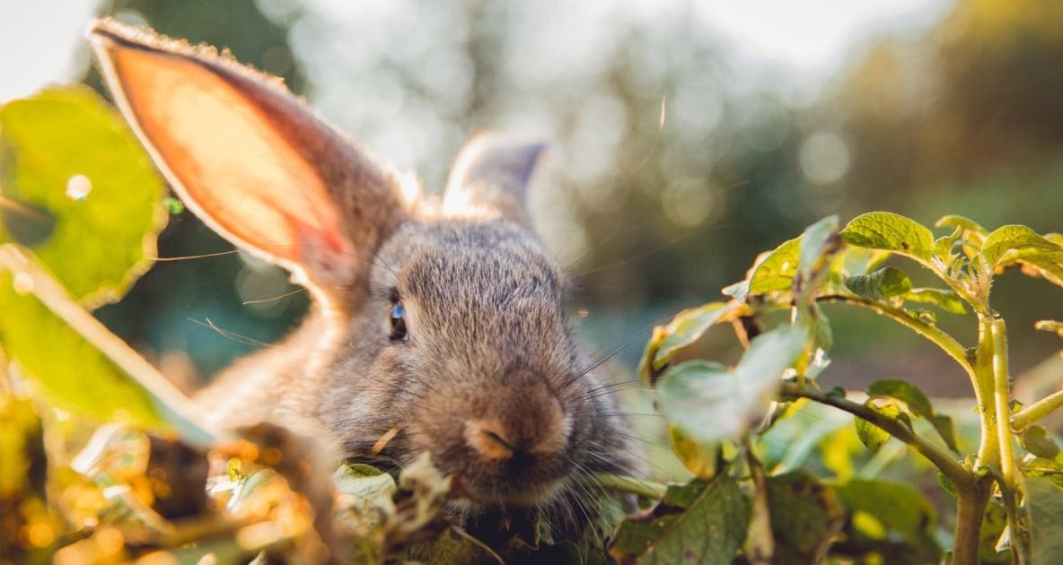 Domestic rabbit - Hares