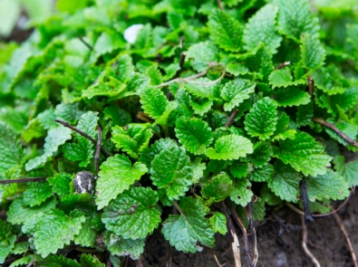 10 Healthy Reasons To Grow Lemon Balm featured image