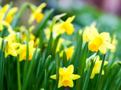 March Flower Lore: Daffodils featured image