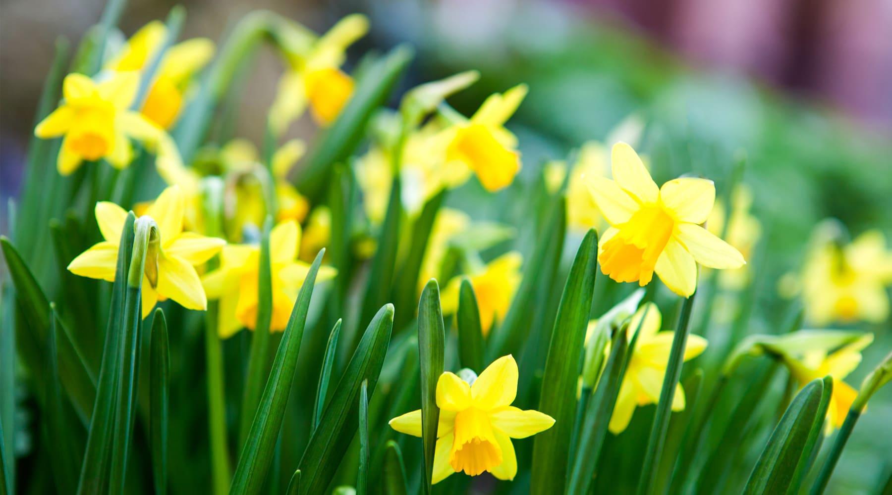 March Flower Lore The Daffodil Farmers Almanac
