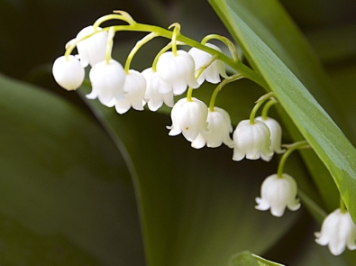 May Flower Lore: Lily of the Valley and Hawthorne featured image