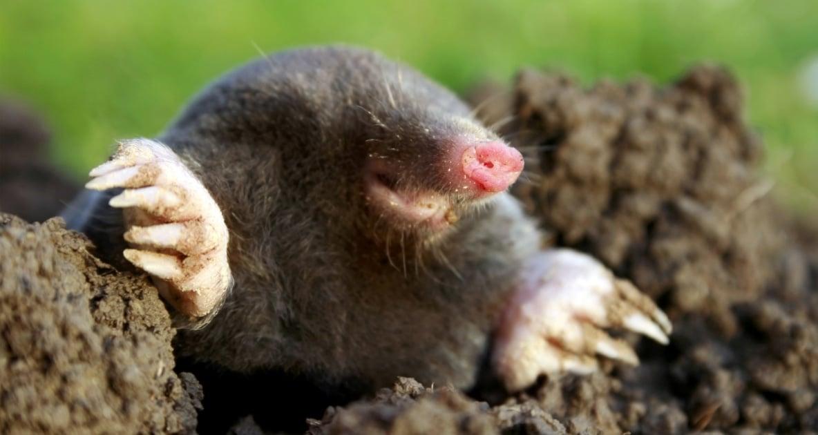 European mole - Moles
