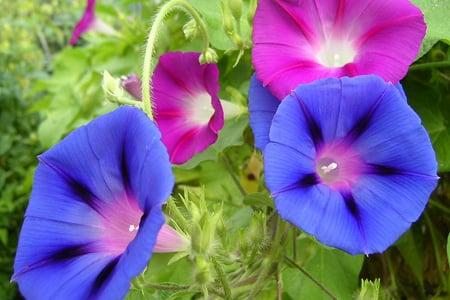 Morning Glory Flower Petals Purple Colors