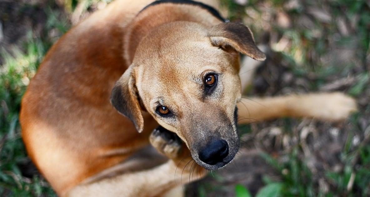 Golden Retriever - Puppy