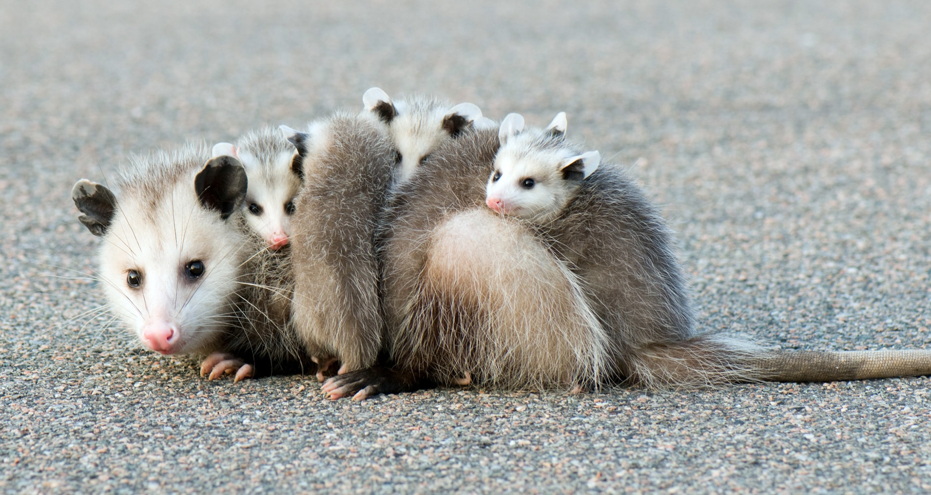 opossum facts - several opossums huddled together