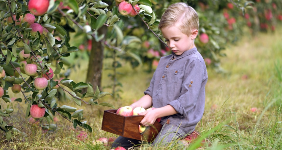 Boy holding a basket of apples for picking.