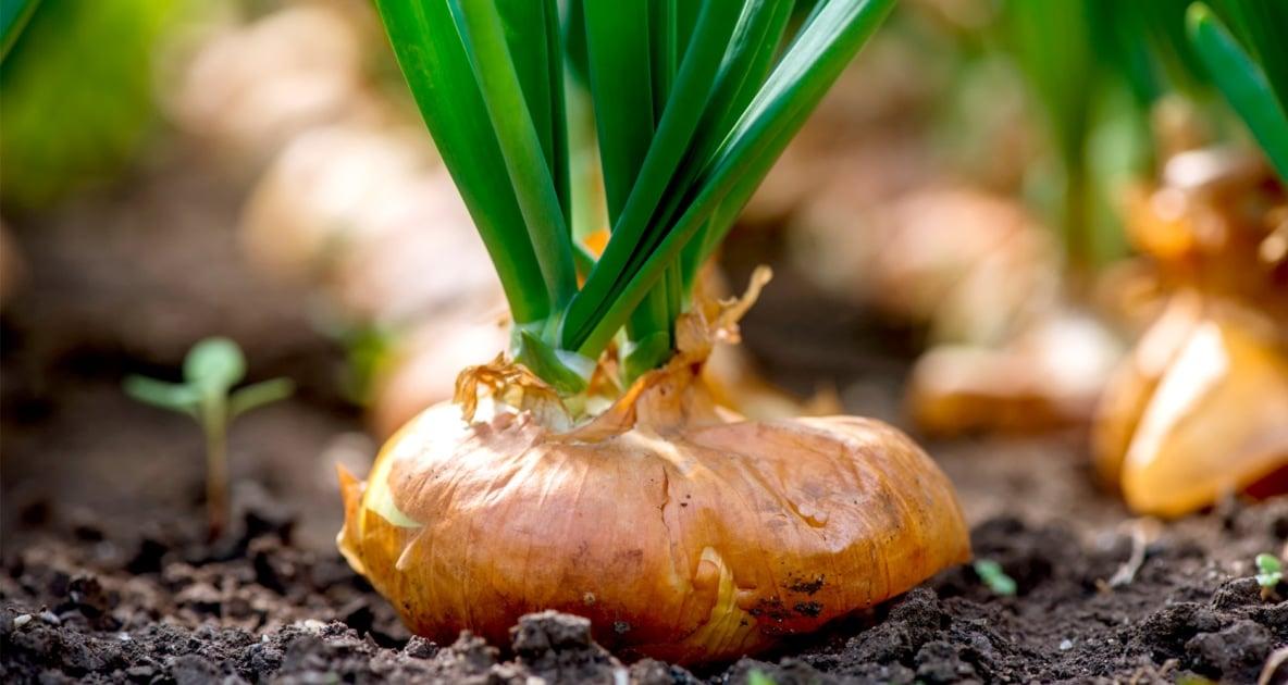 Vegetable - Soil