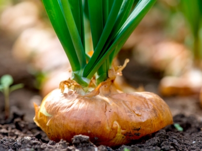 Onions Planting Guide featured image