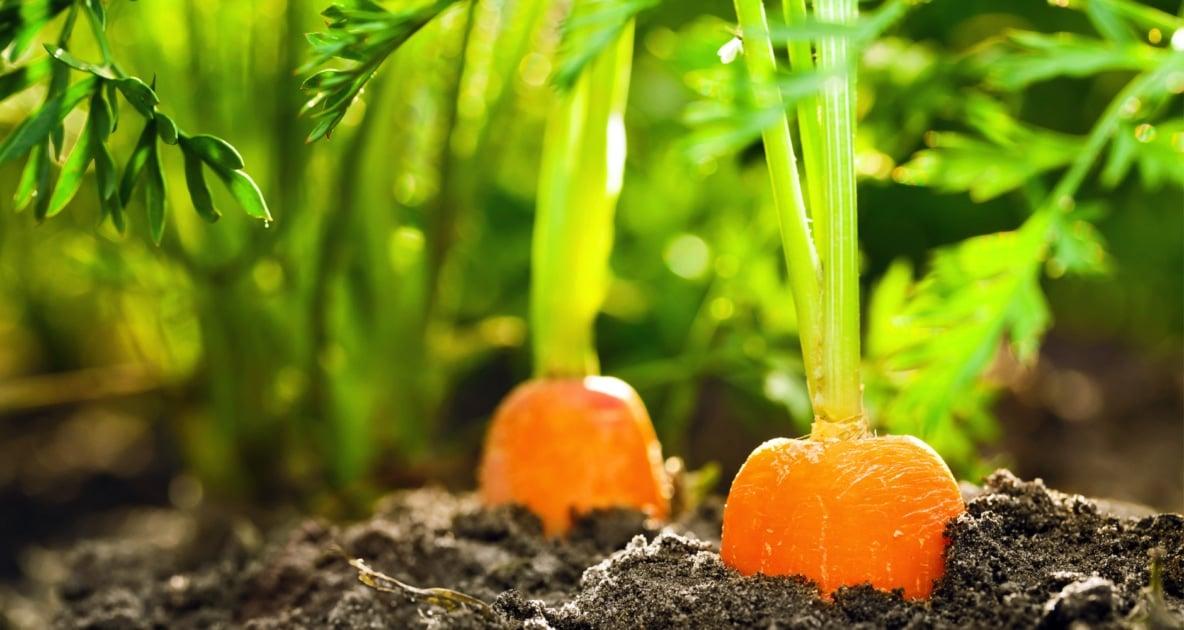Vegetable - Carrot