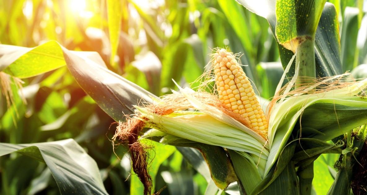 Plants - Sweet corn