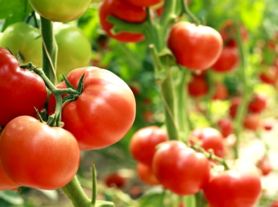 Tomato Planting Guide featured image