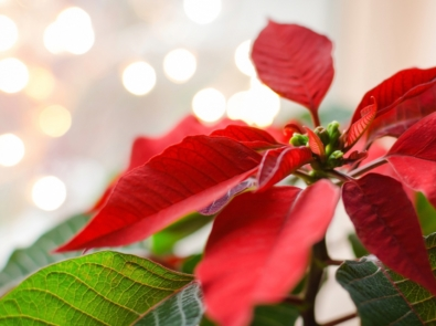 Poinsettia Facts and Trivia featured image