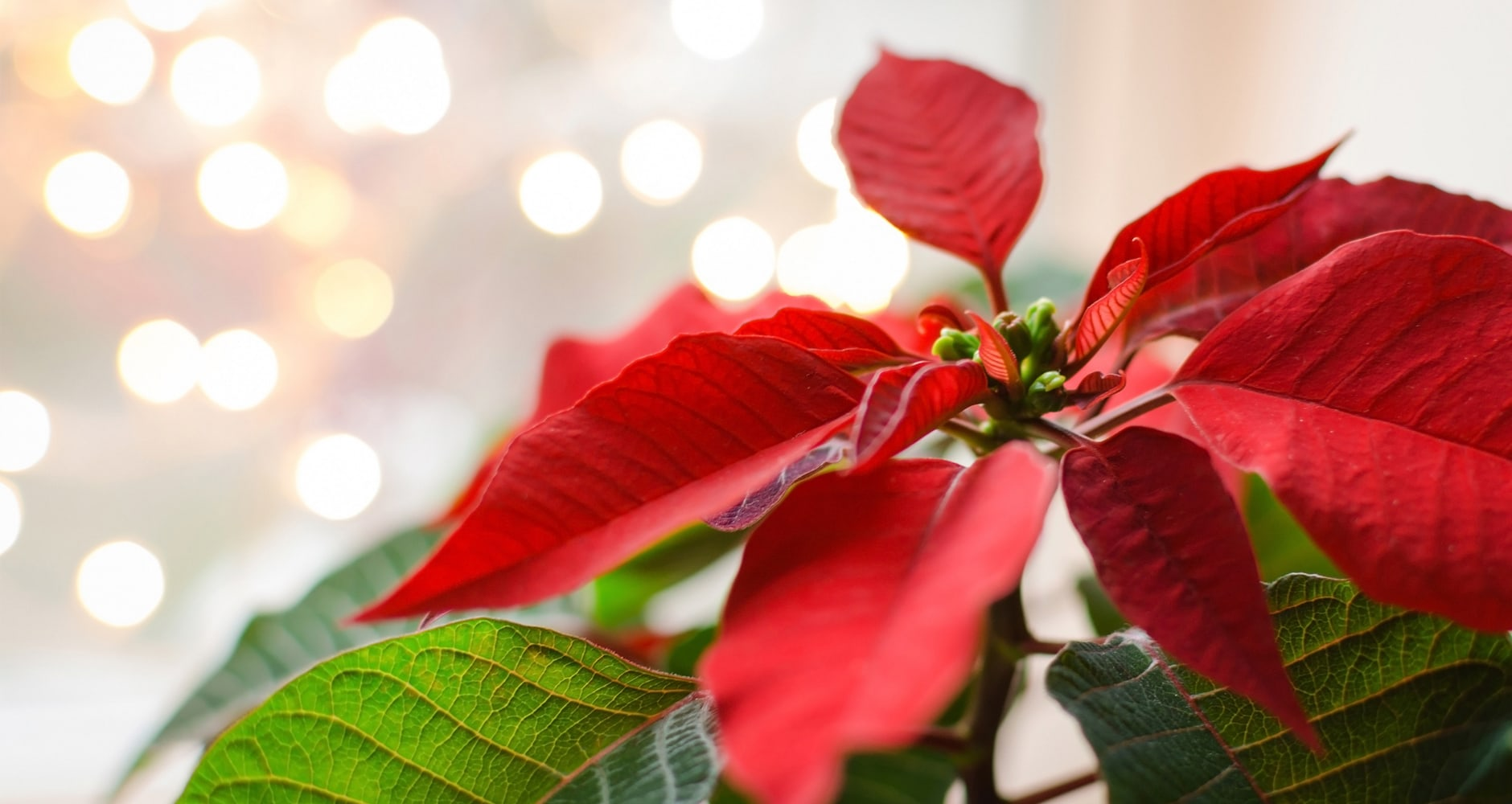 Fun Facts And Trivia About Poinsettias The Christmas Plant