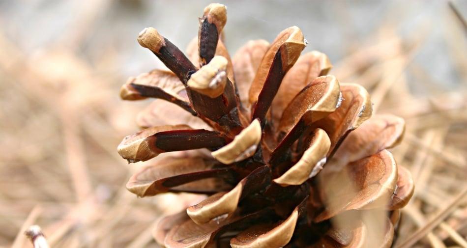 Conifer cone - Pine