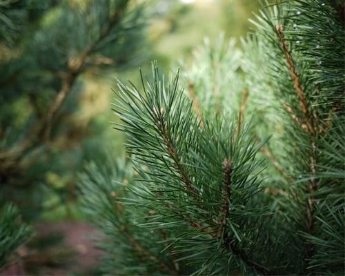 Pinus sylvestris - Conifers