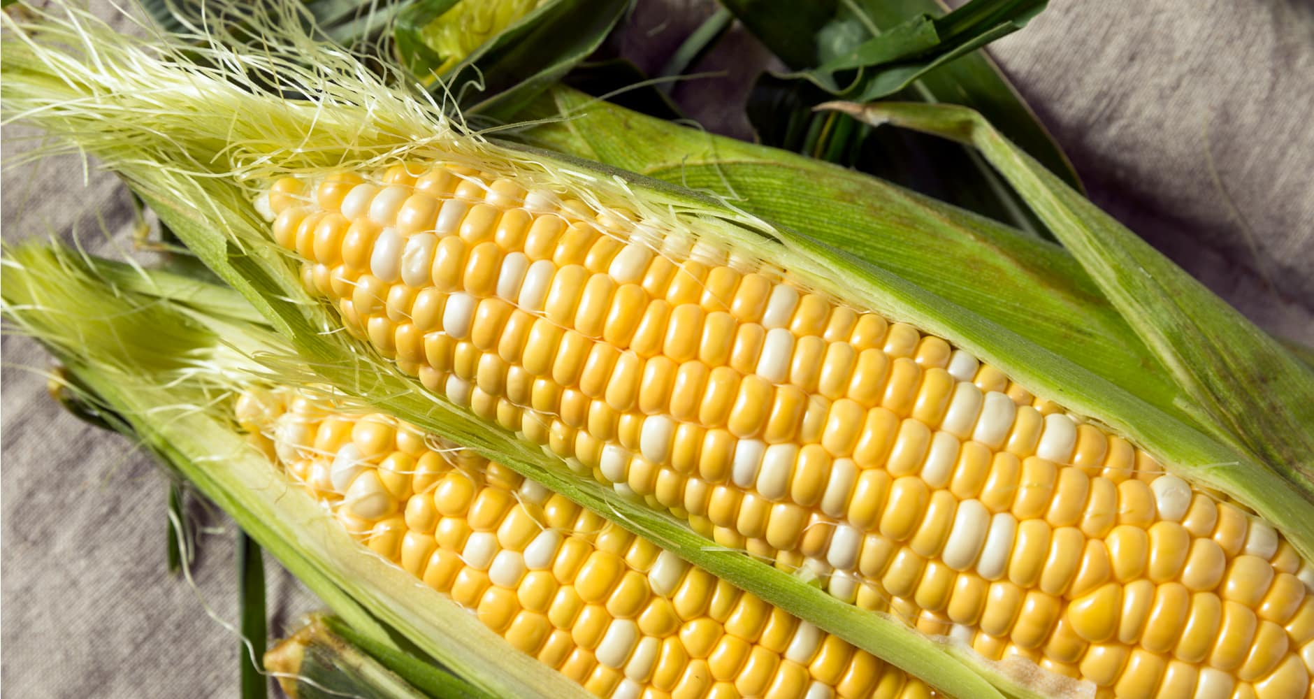 two ears of corn in their husks on a table