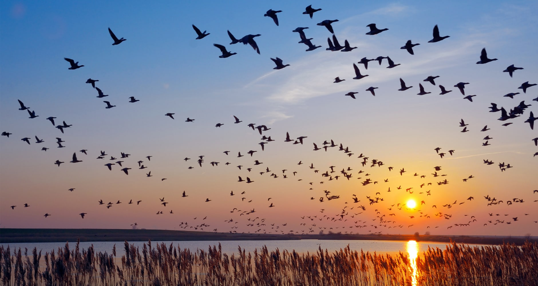 geese flying south at sunset