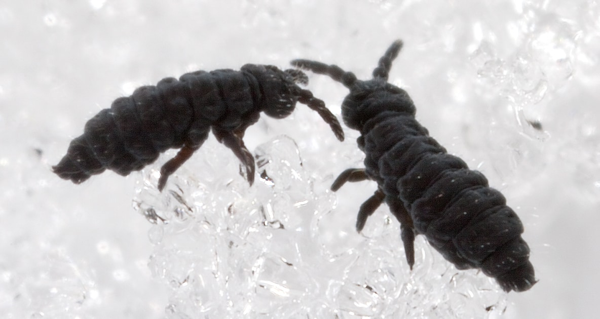 Insects - Springtail