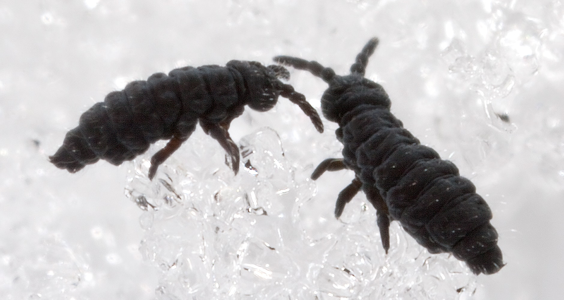 Eeek! What Are Snow Fleas?image preview