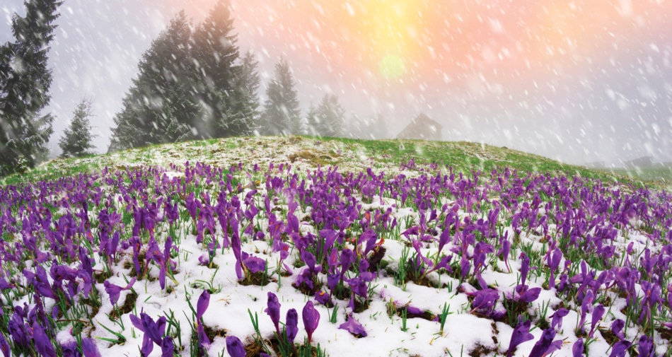 Snow on crocus with clouds and sun in background.