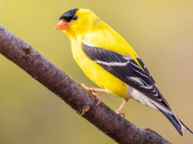 5 Songbirds To Invite To Your Yard featured image
