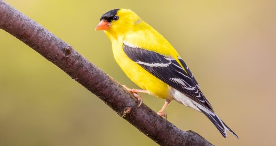 American Goldfinch - Songbirds