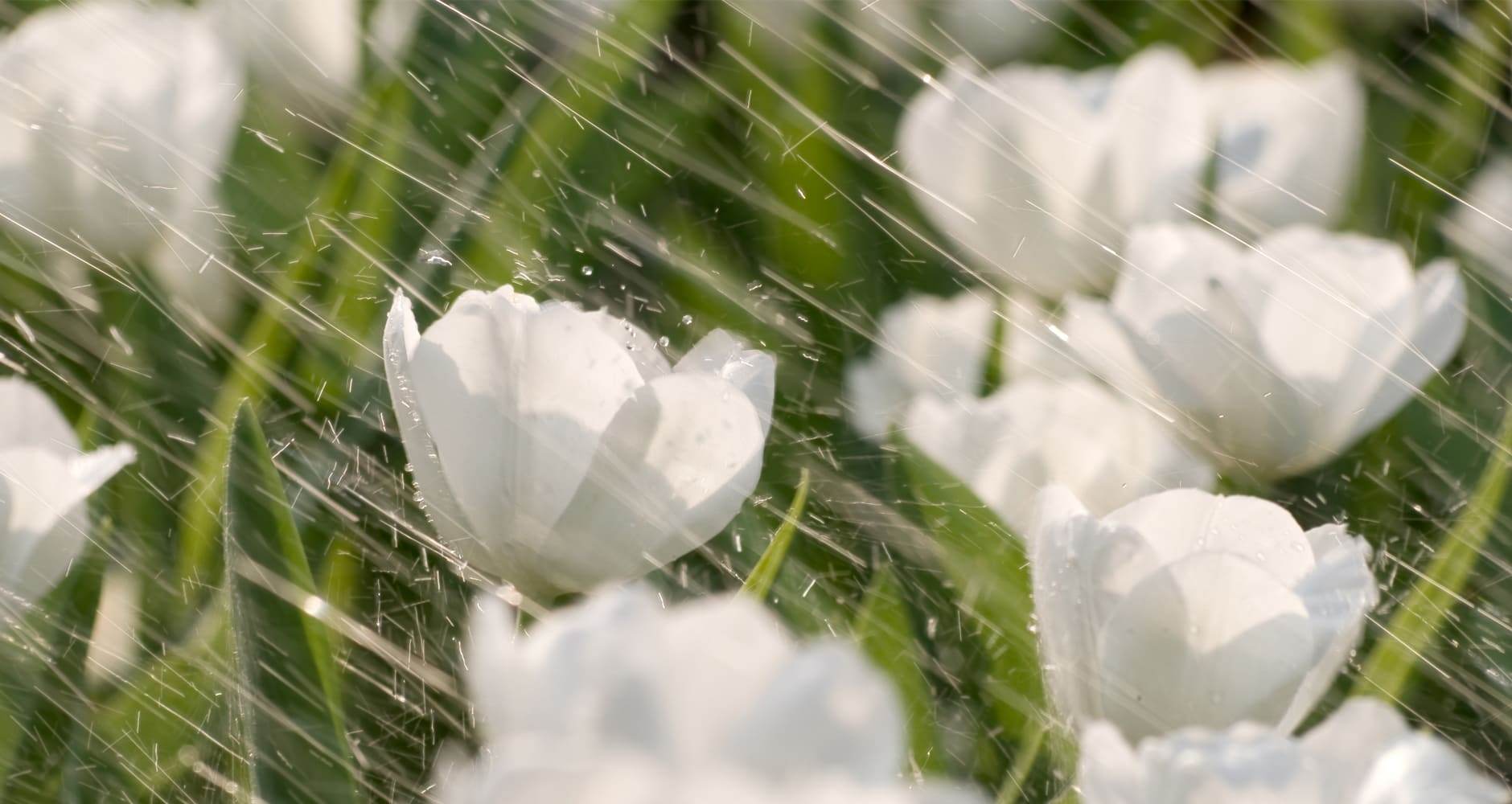 April Showers bring May flowers - with white flowers in the rain