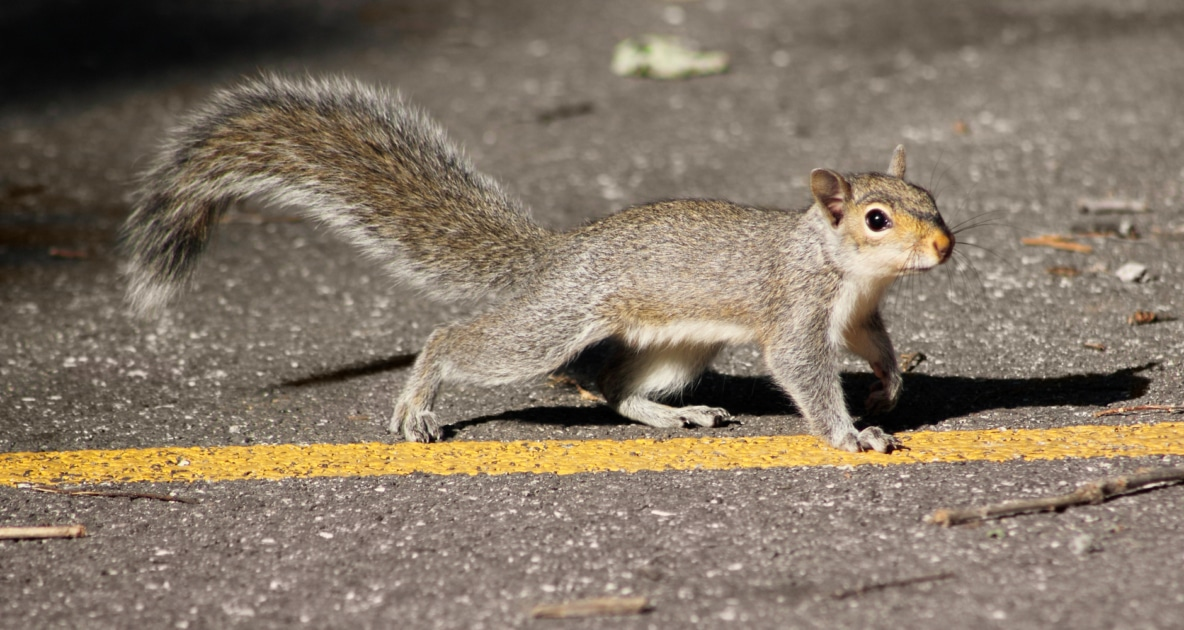 Squirrels - Tree squirrel