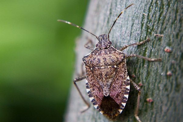 Brown marmorated stink bug - Stink bugs