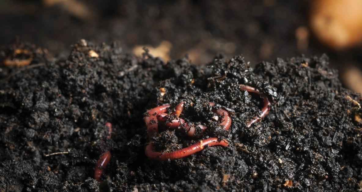 Vermicompost - Compost